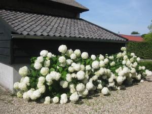 Hortensia's schuurberg